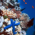 A Blue Starfish (Linckia laevigata) resting on hard Acropora coral. Lighthouse, Ribbon Reefs, Great Barrier Reef. By Richard Ling, CC-BY-SA-2.5 (http://creativecommons.org/licenses/by-sa/2.5)], via Wikimedia Commons