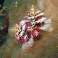 Christmas Tree Worm (Spirobranchus giganteus) in Porites coral. Admiralty, Osprey Reef, Coral Sea. By Richard Ling (Christmas Tree Worm) [CC-BY-SA-2.0 (http://creativecommons.org/licenses/by-sa/2.0)], via Wikimedia Commons