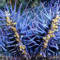 Crown of Thorns Starfish, a major threat to the Great Barrier Reef, from Australian Institue of Marine Science under CCBY licence