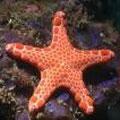 Starfish. Image from http://www.ausmarinverts.net/