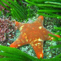 Starfish. East coast of Tasmania. Image from http://www.ausmarinverts.net/