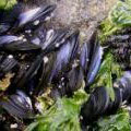 Mussels. Image from http://www.ausmarinverts.net/