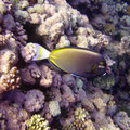 Fish Coral Sea, from flickr grokonsky licenced as CCBY-SA