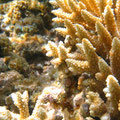 Coral on Ningaloo Reef. FlickrChristen Andrew ccby-sa