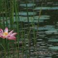 auf dem see waren immer wieder die lotuse zu sehen