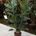 Ficus elastica Robusta 2pp