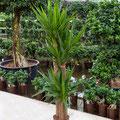 Yucca elephantipes 90 60 30cm