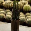 Euphorbia trigona rot