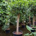Ficus australi stamm