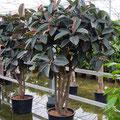 Ficus elastica Abidjan verzweigt