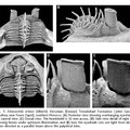 Fuente: Fortey, R.A., and B.D.E. Chatterton. 2003.  A Devonian trilobite with an eyeshade. Science 301: 1689.