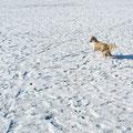 06.02.2012 - Foxi hüpft über die Wiese
