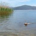 Foxi schwimmt im Prespa-See