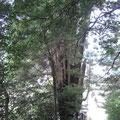 関東一の児持杉