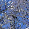 根津神社ではメジロが梅の蜜を吸っていました