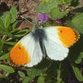 Anthocharis cardamines an Purpurroter Taubnessel. - Bienitz, Rodelbahn 10.04.2011 - D. Wagler