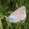 Polyommatus semiargus. - nahe Annaberg-Buchholz 16.06.2005 - R. Klemm