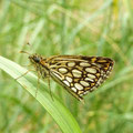 Heteropterus morpheus. - Laußig, Heidegebiet 22.06.2011 - D. Wagler