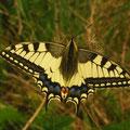 Papilio machaon. - Müllberg, Möckern 27.04.2009 - D. Wagler