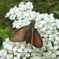 Thymelicus lineola an Gewöhnlicher Schafgarbe. - Bienitz, Rodelbahn 26.06.2011 - D. Wagler