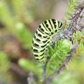 Papilio machaon. - 09.07.2008 - M. Eigner