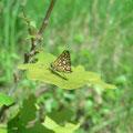 Carterocephalus palaemon. - Biesern, Sandgrube 26.05.2005 - S. Pollrich