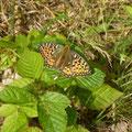 Weibchen vom Großen Perlmutterfalter. - Kossa, Schneise im Kiefernwald 30.07.2012 - D. Wagler
