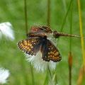 """Weibchen sowie 2 Männchen von Melitaea atahalia. - Johanngeorgenstadt, NSg """"Kleiner Kranichsee"""" 06.07.2013 - S. Pollrich"""