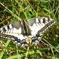 Papilio machaon. - 24.07.2007 - M. Eigner