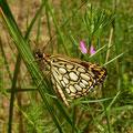 Heteropterus morpheus. - Kossa, Schneise im Kiefernwald 09.06.2011 - D. Wagler