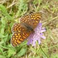 Melitaea athalia an Acker-Witwenblume. - Kossa, Schneisse im Kiefernwald 22.06.2011 - D. Wagler