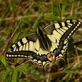 Papilio machaon. - Müllberg, Möckern 20.04.2011 - D. Wagler