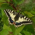 Papilio machaon. - Müllberg Möckern, Kuppe 03.05.2013 - D. Wagler