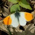 Anthocharis cardamines. - Bienitz, Rodelbahn 01.05.2006 - D. Wagler
