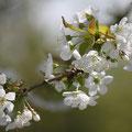 06 Kirschblüten