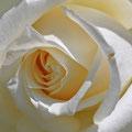 15 Weisse Rose