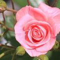 10 Rose