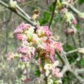 jeunes feuilles d'un chêne