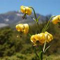 lys des Pyrénées, une fleur endémique
