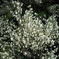 genêt blanc