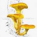 Clitocybe- Jack-o'lantern mushroom-Omphalotus illudens-© Olivier Loir