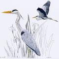 Héron cendré-Grey heron-Ardea cinerea-© Olivier Loir