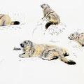 Marmotte des Alpes-Alpine Marmot-© Olivier Loir