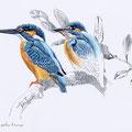 Martin-pêcheur d'Europe-Kingfisher-Alcedo atthis-© Olivier Loir