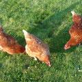 Three brown Tetra Hybriden. Drei braune Tetra Hybriden