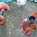One of the white sussex chicken died this year. Now we have total 8 chicken.