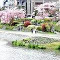 加茂川の流れと、川べりのしだれ桜。