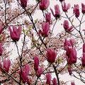 満開の桜の花と、紫木蓮の花。雲雀ケ丘学園にて撮影。