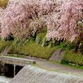 加茂川べりのしだれ桜。満開です。