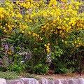 宝塚「花の道」に咲く、満開の山吹の黄色い花。